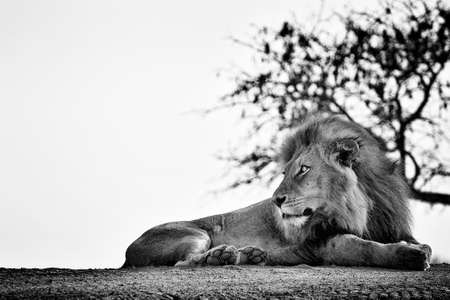 Watchful elegant lion lying on the ground. Black and white photography. Stock Photo