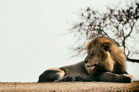 Watchful elegant lion lying on the ground. Stok Fotoğraf