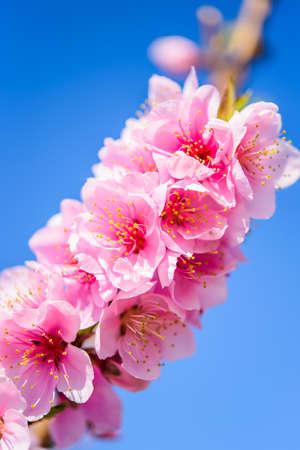 sky brunch: Flowering almond brunch against  blue  sky, vertical, macro
