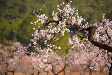 Blossoming almond tree on the background of the forest in Spain Stock Photo