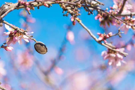 Pink flowering almond trees against blue sky. Blurred background. Close-up