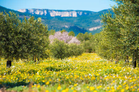 Olive trees in a row on plantation in Tarragona, Catalunya, Spain. Space for text