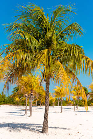 sur: White sand and palm trees on the beach Playa Sirena, Cayo Largo, Cuba. Vertical