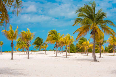 White sand and palm trees on the beach Playa Sirena, Cayo Largo, Cuba. Copy space for text