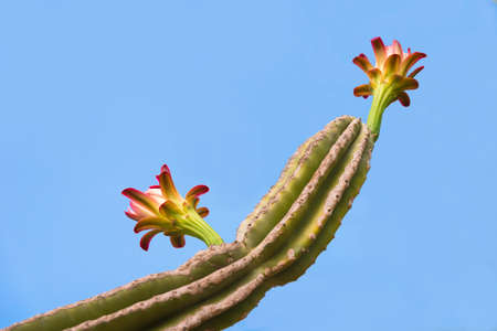 Flowering cactus. Isolated on blue background. Copy space for text. Close-up Stock Photo