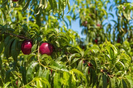 sky brunch: Juicy bright nectarines on brunch, blue sky background, harvest Stock Photo