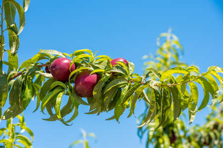 sky brunch: Juicy bright nectarines on brunch, blue sky background, harvest. Copy space for text Stock Photo