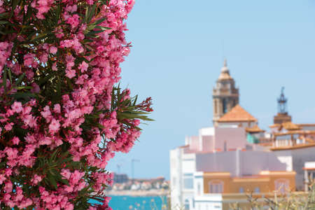 Blooming Oleander against the background of the historical center in the Sitges, Barcelona, Catalunya, Spain. Copy space for text. Isolated on blue background