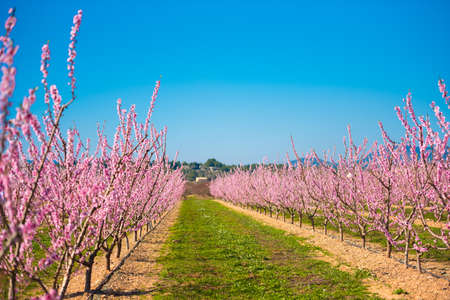 Lines of flowering almond trees against blue sky. Copy space Stock Photo