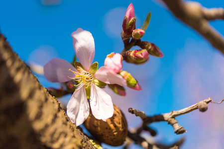 Flowering almond wind against the blue sky, macro Stock Photo