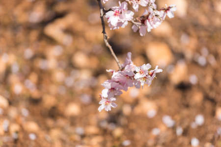 Flowers of a blossoming almond tree. Blurred background