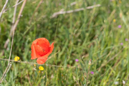 A red poppy in the field. Close-up Stock Photo