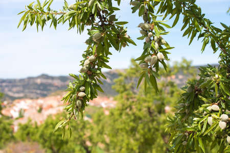 Close-up of a branch of an almond tree with green almonds against a blue sky