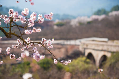 TARRAGONA, SPAIN - MAY 1, 2017: Flowering almonds on a bridge background