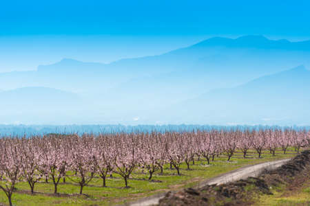 Flowering almond trees against the background of mountains and blue sky. Copy space 스톡 콘텐츠