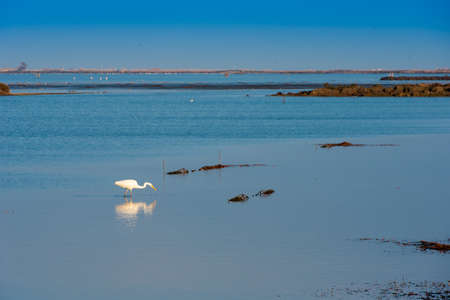 White heron catches fish in shallow water. Copy space for text Stock Photo