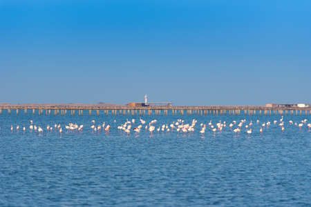 catalunya: Many pink flamingos on the lake. Copy space for text