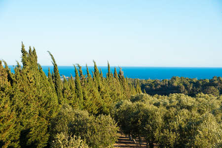 Olive trees in the garden against the sea in Tarragona, Catalunya, Spain. Copy space for text Stock Photo