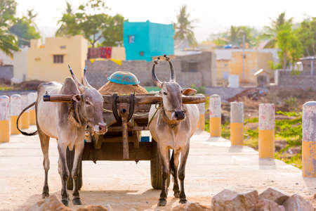 Indian bulls in harness, Puttaparthi, Andhra Pradesh, India. Copy space for text Reklamní fotografie