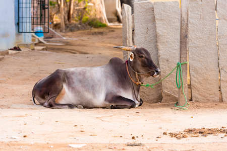 Indian cow lies on the ground, Puttaparthi, Andhra Pradesh, India. Copy space for text Stock Photo