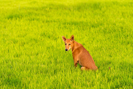 Dog on the green grass, Puttaparthi, Andhra Pradesh, India. Copy space for text. Close-up