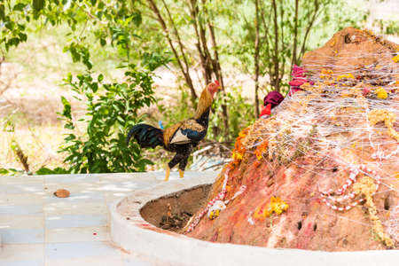 Rooster in the yard, Puttaparthi, Andhra Pradesh, India. Copy space for text