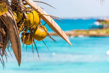 Bayahibe, 라 Altagracia, 도미니카 공화국에서 카리브 바다의 배경에 코코넛. 텍스트를위한 공간을 복사하십시오. 스톡 콘텐츠