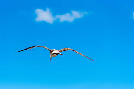 Seagull is flying against the blue sky in Sete, Languedoc Roussillon, France. Copy space for text Stock Photo