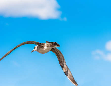 Seagull is flying against the blue sky in Sete, Languedoc Roussillon, France. Close-up