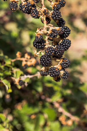 Wild blackberry on a branche in Siurana, Catalunya, Spain. Close-up. Vertical Stock Photo