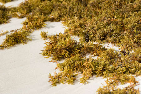 Seaweed on a sandy beach in Punta Cana, La Altagracia, Dominican Republic. Close-up
