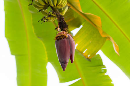 A lot of bananas on the tree. Blooming banana, Louangphabang, Laos. Close-up