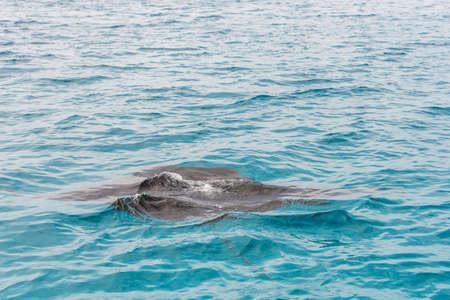 Rampa na superfície da água, macho, República das Maldivas. Fechar-se Foto de archivo - 92202431