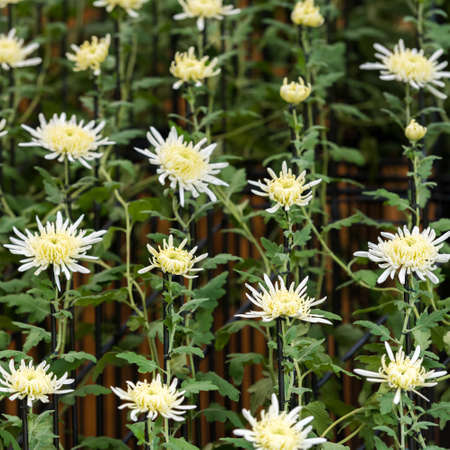 White chrysanthemums in Japanese greenhouse. Close-up Stock Photo