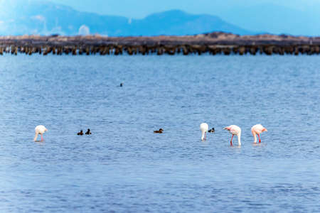 Beautiful flamingo group in the water in Delta del Ebro, Catalunya, Spain