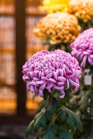 Beautiful colorful chrysanthemums in a closed Japanese garden. Close-up. Vertical