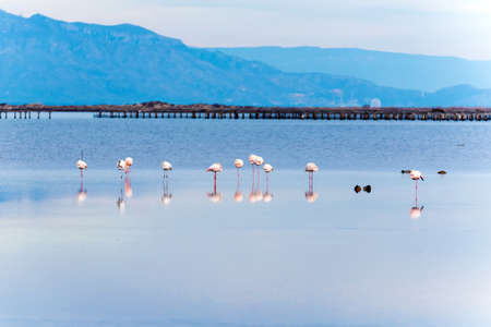 Beautiful flamingo group in the water in Delta del Ebro, Catalunya, Spain Stock Photo - 95972683