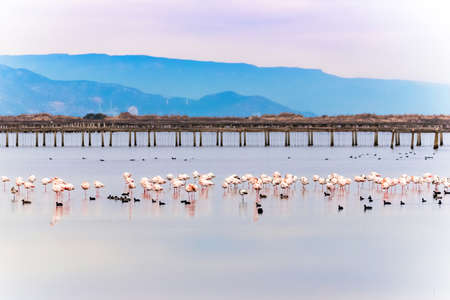 Beautiful flamingo group in the water in Delta del Ebro, Catalunya, Spain. Copy space for text