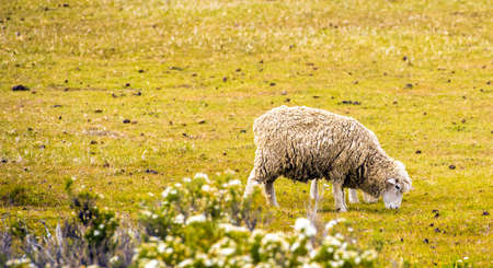 Sheep eat grass on the lawn, Patagonia, Chile. Copy space for text