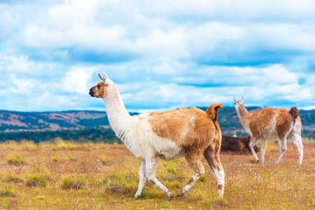 Guanaco lamas in national park Torres del Paine mountains, Patagonia, Chile, South America. Copy space for text