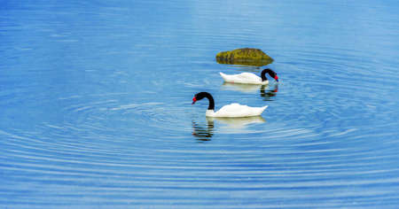 Black-necked swans swim in the lake, Patagonia, Chile. Copy space for text