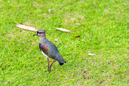Beautiful bird on green grass, Garganta del Diablo, Brazil, Argentina. Copy space for text Stock Photo