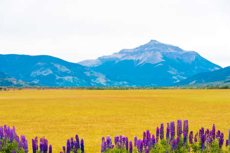 View of blossoming lupines against the background of mountains in the national park Torres del Paine, Patagonia, Chile. Copy space for text Imagens