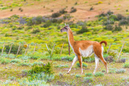Guanaco lama in national park Torres del Paine mountains, Patagonia, Chile, South America. With selective focus
