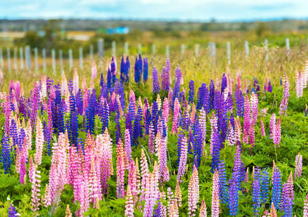 View of flowering lupines in the national park Torres del Paine, Patagonia, Chile