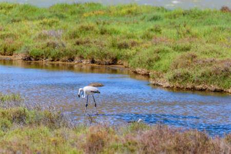 Beautiful flamingo in the water in Delta del Ebro, Catalunya, Spain