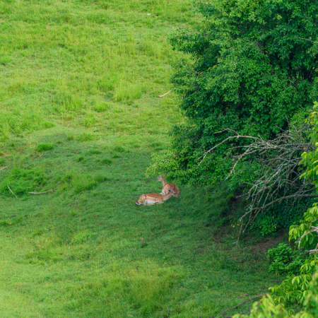 Spotted deer lying on the green grass in the city park, Ragascka Slatina, Slovenia