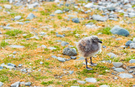 Nestling gull in the nest, Isla Magdalena, Patagonia, Chile