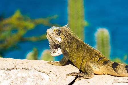 Iguana basks in the sun in Playa Lagun, Curacao, Netherlands. With selective focus