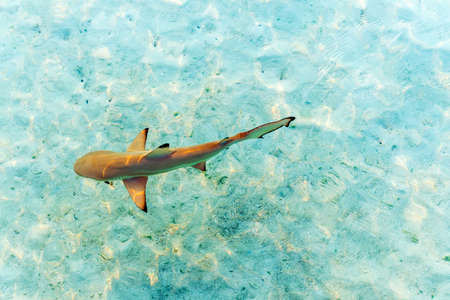 Shark near the shore, Maldives. Top view. With selective focus
